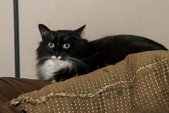 8/366 - Oreo the cat