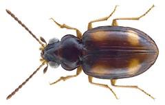 Sphaerotachys fumigatus (Motschulsky, 1851) (urjsa) Tags: africa insect beetle afrika senegal insekt käfer coleoptera kaefer carabidae taxonomy:order=coleoptera taxonomy:family=carabidae fumigatus coleopteraus geo:country=senegal sphaerotachys sphaerotachysfumigatus taxonomy:binomial=sphaerotachysfumigatus taxonomy:genus=sphaerotachys taxonomy:species=fumigatus