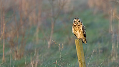 Short-Eared Owl (Distinctly Average) Tags: bird canon wildlife handheld perched hertfordshire herts shortearedowl 100400 distinctlyaverage phillluckhurst 7dmark2 wwwdistinctlyaveragecouk