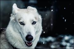Siberian husky - Nahla (BriceLahy) Tags: portrait dog chien france photo husky noir oeil yeux bleu neige siberian blanc gipsy traineau huskie nahla huski