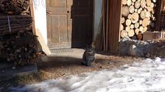 South Tyrol Cat (cultcha.org) Tags: italy italia dolomiti altoadige southtyrol niederdorf dolomiten villabassa
