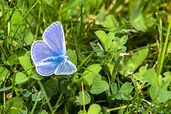Boulogne_2015_05-39.jpg (SuperMikeSi) Tags: papillon boisdeboulogne argusbleu