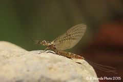 Ephemera danica subimago female (Roberto PE) Tags: ephemeroptera ephemeridae