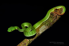 Cameron Highlands Pit Viper (MP7Aquit) Tags: trip macro nature animal highlands reptile snake g wildlife sony pit bamboo cameron malaysia serpent fe alpha animaux viper 90 ff f28 herp malaisie oss reptilia reptilian a7ii 24x36 nebularis pitviper vipre 7ii trimeresurus herping popeia bamboopitviper 7mk2 trimeresurusnebularis sonya7ii sonya7mk2 sonyilce7m2 sonyalpha7mark2 sonyalpha7ii sel90m28g cameronhighlandspitviper popeianebularis fe90f28macrogoss objectifsony90mmf28macrofe sonyfesonyfe2890macrogoss