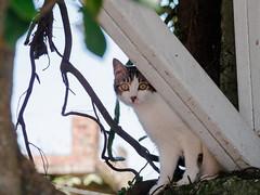 P2081885 (Kyatto) Tags: cat taiwan olympus kit   m43 em10  40150