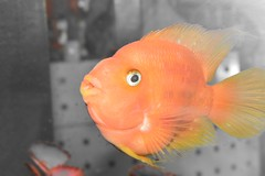 Orange Parrot Fish (stelios_ioannides) Tags: orange fish nikon cyprus orrange parrotfish 2color nicond3200