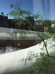 Blues skies, snow drifts and dill in the windowsill (nycbone) Tags: winter snow brooklyn cityscape herbs bluesky porch windowsill snowdrifts