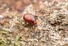 Cerylonidae. Euxestus sp. 5mm (David Ball.) Tags: singapore cerylonidae canon270ex euxestus