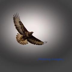 The amazing Buzzard. (Albatross Imagery) Tags: bird birds wildlife raptor buzzard birdsofprey birdofprey wildbirds ukwildlife