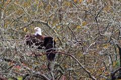 American Bald Eagle (EthanMichaelStrong.com) Tags: bird beautiful birds eyes natural eagle bald american fujifilm habitat birder zoology xseries xt1 xmount fujixseries fujixt1 xshooters fujinon50140 fujixclub