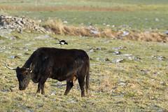 Synergie durch Putzervogel - 019-2016_Web (berni.radke) Tags: bird rind magpie synergy vogel münsterland stever synergie elster olfen heckrind heckcattle steveraue putzervogel