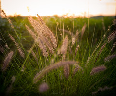 Glowing - Dubai, UAE - Leica M9-P - Summilux (Sparks_157) Tags: life leica light sunset nature grass golden dubai bokeh rangefinder depthoffield handheld summilux unitedarabemirates kar amit goldenhour goldenlight 50mmf14summilux m9p amitkar