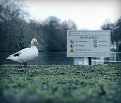 Duck - 41 - (maxjomoore1993) Tags: white colour green water field animal contrast swimming canon lens 50mm prime duck pond woods mood post natural mark walk no ii 5d shallow depth