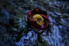 落椿 Series #3 (slowhand7530) Tags: water dark nikon camellia carlzeiss makroplanar macroplanar makroplanart250zf makroplanart250 d800e