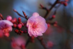 plum_20160213_2 (faeparsons) Tags: flowers blossoms plumblossoms