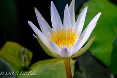 Nearly Closing Time... (umijin) Tags: usa white plant flower color yellow waterlily guam guahan mangilao tracheophyte canon500dcloseuplens territoryofguam latteheights vascularlandplant botanyterminology plantterms