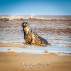 Hello (emmadavidso) Tags: waves windy lincolnshire sandbank greyseals donnanook rafdonnanook