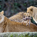 Young lion bringing meat to mom