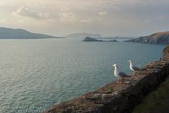 Herring gulls (Karl Wild) Tags: sleeping bird giant gull dingle kerry herring