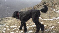 (Jean Arf) Tags: winter dog ny newyork mountains video adirondacks hike trail astrid poodle february adk standardpoodle 2016