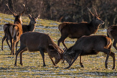 Fight (Ginger Snaps Photography) Tags: red canon scotland fight sigma deer highland antler rut strathconon