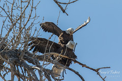 Bald Eagles copulating sequence - 16 of 28