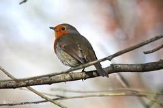 Red (riggy-riggo) Tags: bird nature robin woodland kent spring wildlife canon70300mm canon5dmarkll deborahrigden riggyriggo debbierigden