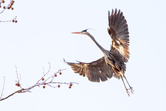 Blue heron in flight #3 (billd_48) Tags: winter ohio usa nature birds oh greatblueheron cuyahogavalleynationalpark cvnp