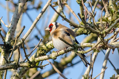 Goldfinch (phat5toe) Tags: nature birds nikon wildlife goldfinch feathers avian wigan flashes greenheart lancashirewildlifetrust d7000 sigma150500