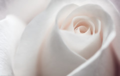 Soft (pinkpixel (Slava)) Tags: white flower macro art nature floral beautiful beauty rose closeup flora soft pretty pattern awesome naturallight flowering slava flowerhead organicpattern awesomeblossoms svetoslavaslavova