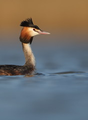 Great crested grebe (Mike Mckenzie8) Tags: uk blue winter wild sun lake bird reeds gold spring outdoor wildlife wave calm crest british plumage podiceps cristatus srene