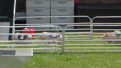 porter county fair. july 2015 (timp37) Tags: county 2 summer race pig 4 july indiana fair pigs porter 2015
