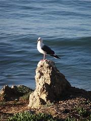 Lifeguard on Duty (ensign_beedrill) Tags: ocean seagulls birds pacificocean beaches elmatador elmatadorbeach elmatadorstatebeach malibutrip2016