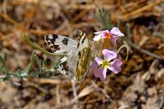 Pontia daplidice (Linnaeus, 1758). Hembra (Jess Tizn Taracido) Tags: lepidoptera pieridae pierinae papilionoidea pierini pontiadaplidice