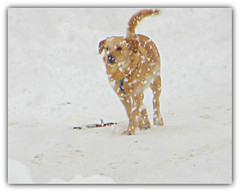 Snow Speckled Dog (bigbrowneyez) Tags: winter dog snow cold cute wet beautiful animal cane goldenretriever fun snowflakes golden cool funny mood sweet bokeh awesome tail snowstorm adorable atmosphere ears stormy dolce neve striking inverno freddo speckled oro freckled irresistable acrossmystreet snowspeckleddog