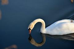 cigno selvatico (VirgiVerde) Tags: italy white reflection nature river swan italia fiume natura bianco lombardia serio flatland riflesso pianura lombardy cigno pianurapadana fiumeserio casalecremasco
