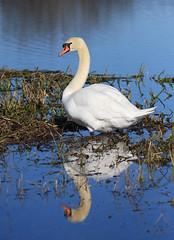 Swan on Loch Flemington, near Inverness, Scotland (David May) Tags: reflection bird reeds swan wildlife regal lochan