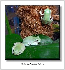 Litoria caerulea (2) (Vogelfoto69) Tags: nature natur frog frogs nrw frosch terrarium caerulea frsche amphibien naturfreund litoria naturschutz nabu naturfoto terraristik korallenfinger naturfilm naturdokumentation naturfilmer naturfotograph andreaskalbow