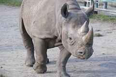 Black Rhino (RedCat09) Tags: blackrhino howletts
