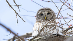 Unimpressed Barred Owl (jrlarson67) Tags: statepark park wood wild white tree bird nature minnesota animal america forest landscape wings nikon branch wildlife owl environment prey predator mn avian barred fortsnelling d7100