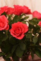 DSC_0788 (PeaTJay) Tags: flowers roses plants macro nature rose gardens fauna reading flora sigma indoors micro closeups berkshire rosebuds lowerearley nikond750