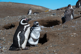 Magellanic Pingüinos