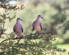 A lovely pair (jaffles) Tags: park nature southafrica dove wildlife natur olympus safari taube kalahari ktp südafrika transfrontier capeturtledove kgalagadi