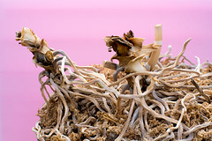 Orchid roots (Yuta Ohashi LTX) Tags: pink orchid nikon f14 voigtlander roots sl d750 fixed 58mm nokton  focal  primelens  5814