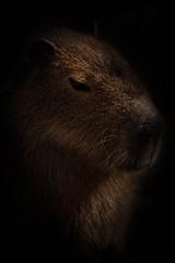 Capybara profile (lesage1981) Tags: nature mammal profile capybara