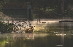 Peaceful Disturbance (jeanmarie shelton) Tags: morning trees light house mist lake green nature water fog reflections landscape outdoors nikon shine deer waterscape jeanmarie jeanmariesphotography boathoue jeanmarieshelton
