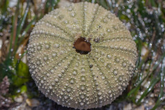 IMG_3164 (armadil) Tags: macro beach beaches urchin seaurchin mavericks californiabeaches