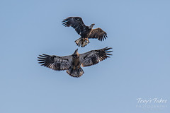 Juvenile Bald Eagle tries to steal away a fish - sequence - 4 of 9