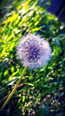 #blowball (adriancaramidariu) Tags: blowball