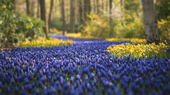 Springtime... (NOAC_) Tags: travel flowers summer plants flower holland color colour classic film tourism nature netherlands colors beautiful field composition forest landscape outdoors woods colorful europe pretty european colours natural bright pentax bokeh outdoor earth nederland landmark tourist depthoffield faded traveling depth touristic keukenhof europees earthporn pentaxk5iis vscostyle